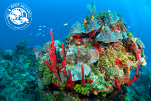 beautiful coral reef with reef alliance logo