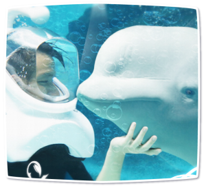 Sea TREK with Beluga Whales in Geoje SeaWorld Korea